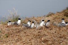 tern crested колонией Стоковая Фотография