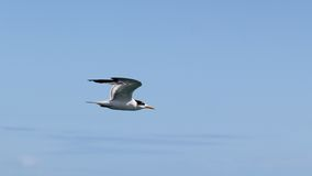 Tern cruising by Royalty Free Stock Image