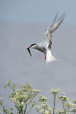 Tern with fish. Royalty Free Stock Images