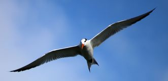 Tern fishing diving in ocean. With rocks in the back Stock Photo