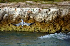 Tern fishing diving in ocean. With rocks in the back Stock Image