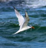Tern fishing diving in ocean. With rocks in the back Royalty Free Stock Photo