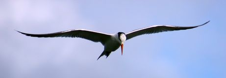 Tern fishing diving in ocean. With rocks in the back Royalty Free Stock Photography