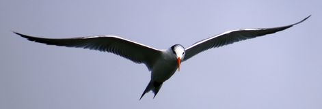 Tern fishing diving in ocean. With rocks in the back Royalty Free Stock Image
