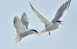 The Tern flies holding a beak a tail of other Tern. Closeup Portrait of Common Terns (Sterna hirundo). Adult common terns in fligh Royalty Free Stock Image