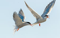 The Tern flies holding a beak a tail of other Tern. Closeup Portrait of Common Terns (Sterna hirundo). Adult common terns in fligh Royalty Free Stock Photos