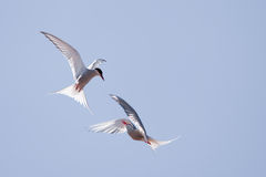 Tern in flight Stock Images