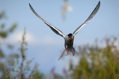 Tern in flight Royalty Free Stock Photography