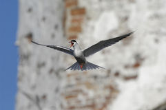Tern in flight Royalty Free Stock Photo
