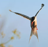 Tern in flight. Stock Images