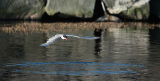 Tern in flight. Stock Photography