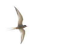 Tern in flight Royalty Free Stock Images
