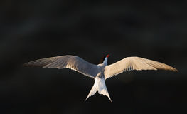 The Tern in flight against the dark water Royalty Free Stock Photo