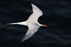 The Tern in flight against the dark water Royalty Free Stock Images