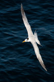 Tern in flight Stock Image