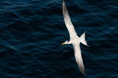 Tern in flight Stock Photography