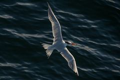 Tern in flight Royalty Free Stock Photos