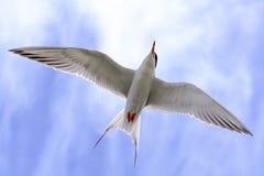 Tern in flight Stock Image