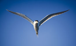 Tern in Flight,  Sea Bird Flying Through Blue Sky. Tern in Flight,  Sea Bird Flying Through Bright Blue Sky Royalty Free Stock Images