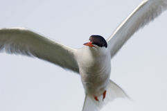 Tern in fligt. The Common Tern (Sterna hirundo) is a seabird of the tern family Sternidae Stock Image