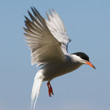 Tern fliting. The Common Tern (Sterna hirundo) is a seabird of the tern family Sternidae. This bird has a circumpolar distribution breeding in temperate and sub Royalty Free Stock Image