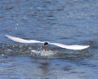 Tern Forster как раз улавливая малую рыбу. Стоковые Фотографии RF