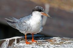 tern forster ювенильный s Стоковое Изображение RF