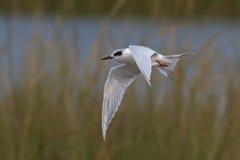 tern forster s летания Стоковое Изображение RF