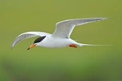 tern forster s полета Стоковые Фото