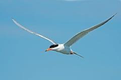 tern forster s полета Стоковая Фотография RF
