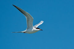 tern forster s Стоковое Фото