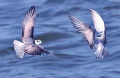 Tern Royalty Free Stock Photo