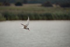 Tern Hunting Over Water Stock Photo