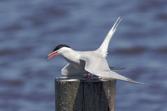 Tern hunting on a pole Royalty Free Stock Image