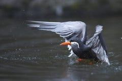 Tern inca подныривания Стоковое Изображение RF