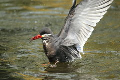 Tern Inca Стоковая Фотография RF