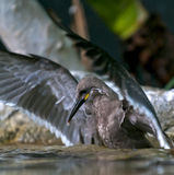 Tern Inca Стоковое фото RF