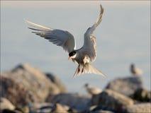 Tern before landing. Bird, widely swinging wings, has stiffened in air before landing Royalty Free Stock Image
