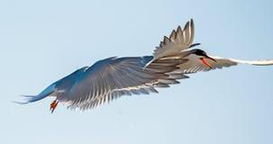 Tern lata trzymający belfra ogon inny Tern Zbliżenie portret Pospolici Terns (mostku hirundo) Dorosli pospolici terns w fligh Obrazy Stock
