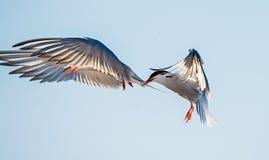 Tern lata trzymający belfra ogon inny Tern Zbliżenie portret Pospolici Terns (mostku hirundo) Dorosli pospolici terns w fligh Obrazy Royalty Free
