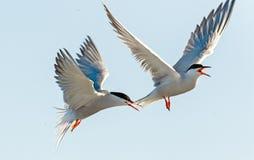 Tern lata trzymający belfra ogon inny Tern Zbliżenie portret Pospolici Terns (mostku hirundo) Dorosli pospolici terns w fligh Zdjęcia Royalty Free