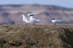 Tern Patagonia Argentina. Peninsula Valdes Chubut Royalty Free Stock Photos