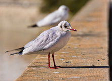 Tern perched Stock Photos