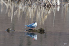 Tern Reflection. An Arctic Tern sits on a submerged log waiting for its mate to return Stock Photos
