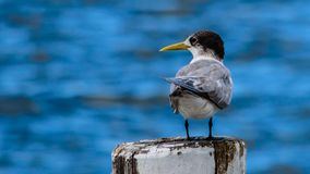 Tern Sea Bird in Australia royalty free stock images