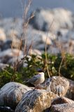 The Tern sits on the stones Stock Photo