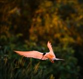 The Tern with a small fish . The bird with a small fish in a dawn beams sits down Royalty Free Stock Photos