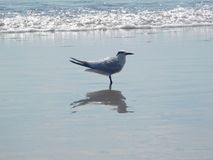 Tern standing on the beach, Florida, USA royalty free stock image