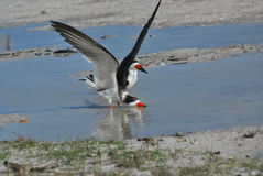 Tern taking Off, Florida. Terns are among the many species of birds to be seen on Florida and Gulf coast beaches Royalty Free Stock Image