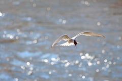Tern unosi się nad woda zdjęcia royalty free